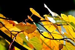 Zonnige de herfstbladeren Stock Fotografie