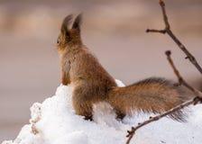 Zonnige eekhoorn op de lentesneeuw die op noten wachten Royalty-vrije Stock Fotografie