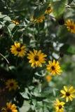 Zonnige gele bloemenachtergrond leuke gele de herfstbloem deli royalty-vrije stock foto