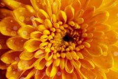 Zonnige gele chrysantenachtergrond Stock Foto's