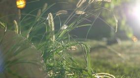 Zonnige ochtend in de recente zomer met sterke zonstralen, gouden uur Gras dichte omhooggaand, zon achter het gras Gewaagde groen stock videobeelden