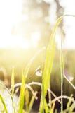zonnige ochtend Libelzitting op een grassprietje dauw op Royalty-vrije Stock Fotografie