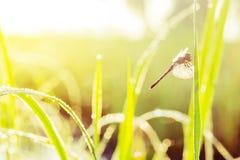 zonnige ochtend Libelzitting op een grassprietje dauw op Stock Foto