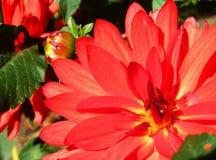 Zonnige reuze rode dahliabloemen Stock Foto's