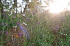 Zonnige weide met bloemen Stock Afbeeldingen