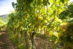 Zonnige wijngaard Royalty-vrije Stock Foto