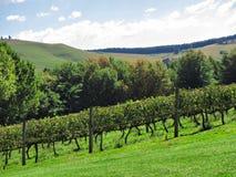 Zonnige wijngaarden op heuvel Stock Foto's