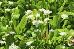 Zonnige wilde het knoflookbloemen van de de lentedag Royalty-vrije Stock Foto's