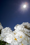 Zonnige witte bloem Royalty-vrije Stock Fotografie
