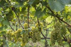 Zonnige witte wijn Royalty-vrije Stock Fotografie