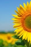 Zonnige zonnebloem royalty-vrije stock afbeelding