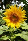 Zonnige zonnebloem Stock Afbeelding