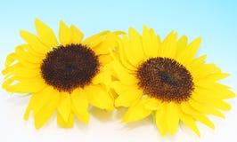 Zonnige Zonnebloemen Royalty-vrije Stock Afbeeldingen