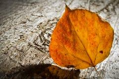 Zonovergoten Aspen Leaf Royalty-vrije Stock Foto's