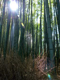 Zonovergoten bamboebos, met lensgloed en spiderweb Royalty-vrije Stock Afbeeldingen
