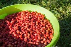 Zonovergoten bessen van rijpe rode wilde aardbei in groene emmer op gr. Royalty-vrije Stock Afbeelding