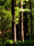 Zonovergoten Californische sequoia's Royalty-vrije Stock Foto