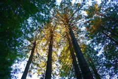 Zonovergoten Californische sequoia's Stock Afbeeldingen