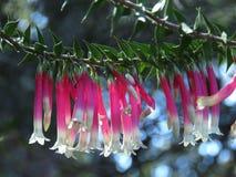 Zonovergoten Correa-bloemen Stock Afbeelding