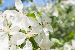 Zonovergoten de lentetak van een tot bloei komende appelboom met witte bloemen Royalty-vrije Stock Afbeeldingen