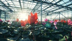 Zonovergoten die broeikas met tot bloei komende bloemen wordt gevuld stock video