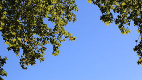 Zonovergoten esdoornbladeren Stock Foto