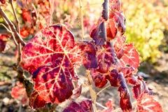 Zonovergoten gekleurde wijngaard Royalty-vrije Stock Foto