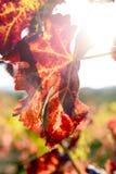 Zonovergoten gekleurde wijngaard Royalty-vrije Stock Afbeelding