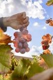 Zonovergoten gekleurde wijngaard Royalty-vrije Stock Afbeeldingen