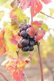Zonovergoten gekleurde wijngaard Royalty-vrije Stock Foto's