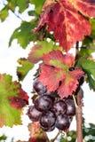 Zonovergoten gekleurde wijngaard Royalty-vrije Stock Fotografie