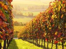 Zonovergoten gekleurde wijngaard Stock Afbeelding