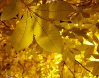 Zonovergoten gele bladeren Stock Afbeeldingen
