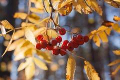 Zonovergoten gele bladeren en bossen van lijsterbessenbessen Royalty-vrije Stock Fotografie