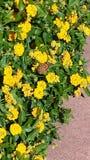 Zonovergoten gele bloemen en een vlinder Stock Foto's