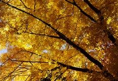 Zonovergoten gele boom met donkere takken in de herfst Stock Afbeeldingen