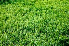 Zonovergoten Gras Royalty-vrije Stock Foto