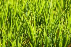 Zonovergoten Gras Stock Fotografie