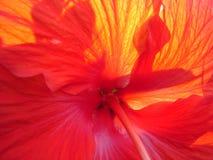 Zonovergoten Hibiscus Royalty-vrije Stock Afbeeldingen