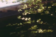 Zonovergoten Japanse Esdoornboom in openlucht in een Tuin Stock Foto's