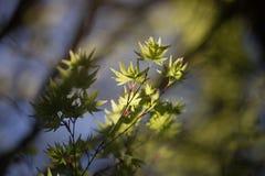 Zonovergoten Japanse Esdoornboom in openlucht in een Tuin Stock Afbeeldingen