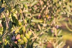 Zonovergoten kalamataolijven die op olijfboom rijpen Royalty-vrije Stock Foto's