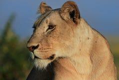 Zonovergoten Leeuwin die zijdelings met een natuurlijke achtergrond in Masai Mara, Kenia kijken Royalty-vrije Stock Fotografie