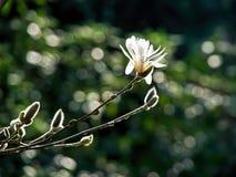 Zonovergoten Magnolia Stock Afbeelding