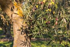 Zonovergoten olijfboom met rijpende kalamataolijven Stock Foto