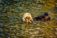 Zonovergoten overzeese otter die in heldere bezinningen van oceaan eten Royalty-vrije Stock Foto's