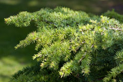 Zonovergoten pijnboom-boom takken Stock Afbeelding