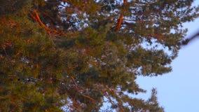 Zonovergoten pijnboomtak, slingerend in de wind, tegen de blauwe hemel, pinecone op een boom stock video