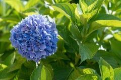 Zonovergoten purpere hydrangea hortensia Stock Foto