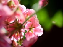 Zonovergoten Roze Bloemen Stock Afbeelding